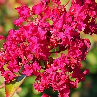 Crapemyrtle_Ruby_Prince_main